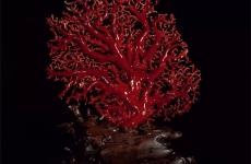 红珊瑚的鉴别方法